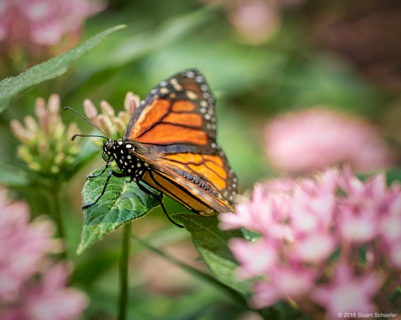 Monarch Butterfly Enjoying The Day