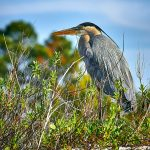 Heron In The Bushes